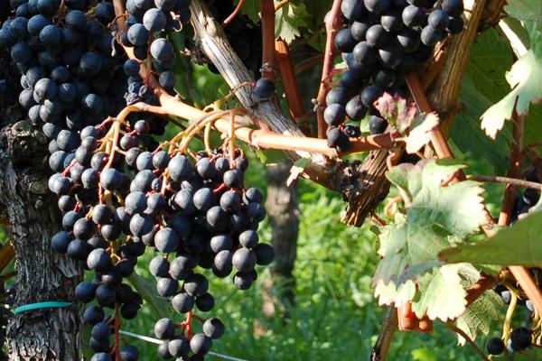 vinhos-pfalz