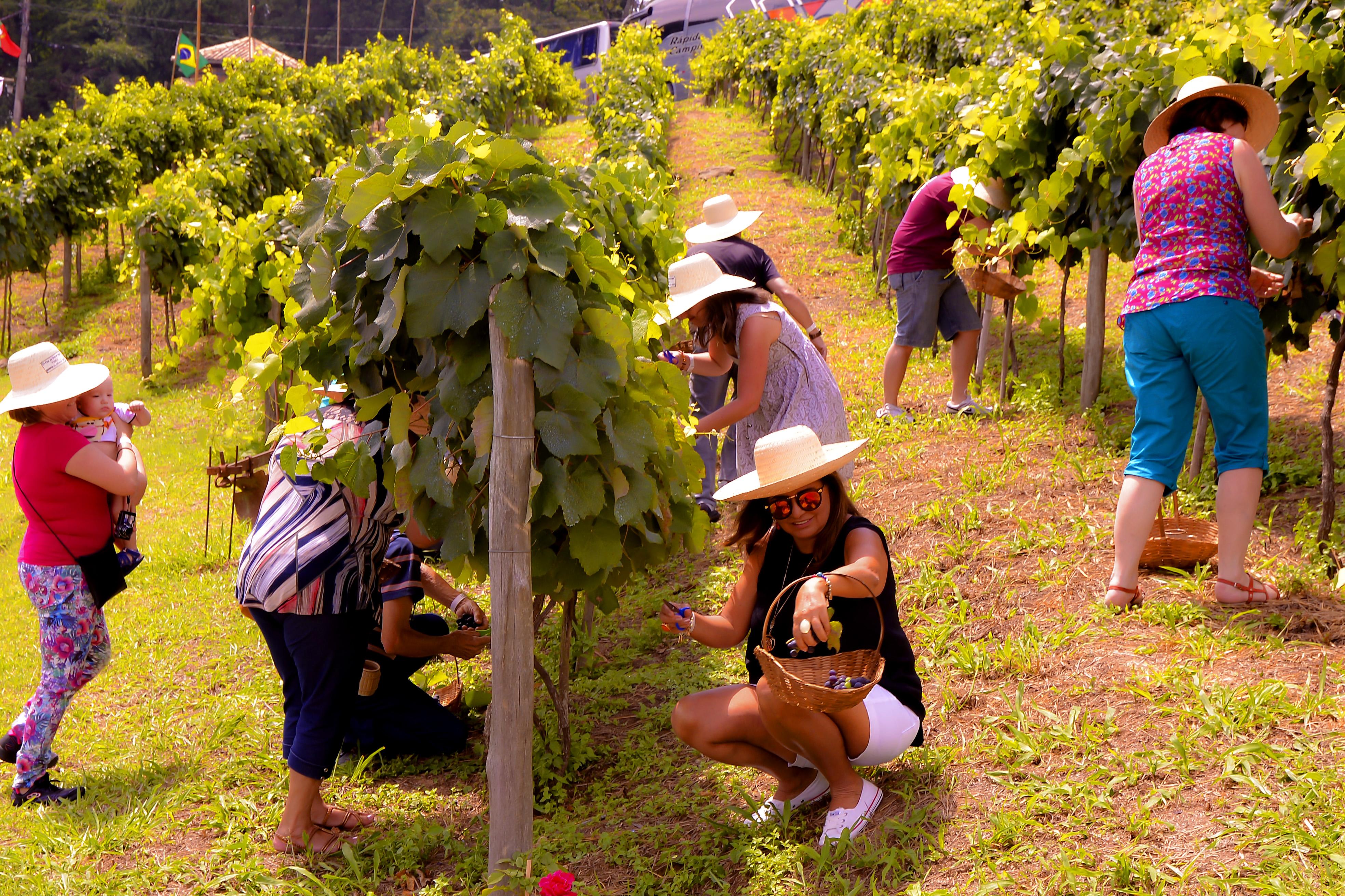 Colheita das uvas nos parreirais