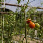 Tomatinhos orgânicos