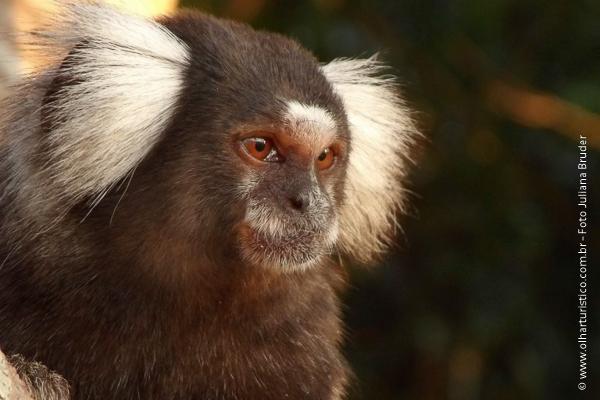 Endêmico Do Brasil O Mico Estrela é Um Macaco Do Novo Mundo Olhar
